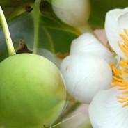 Екзотичните масла в кухнята ни-масло от Таману(Tamanu oil)- част 1